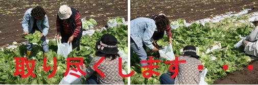 090925_根こそぎ収穫